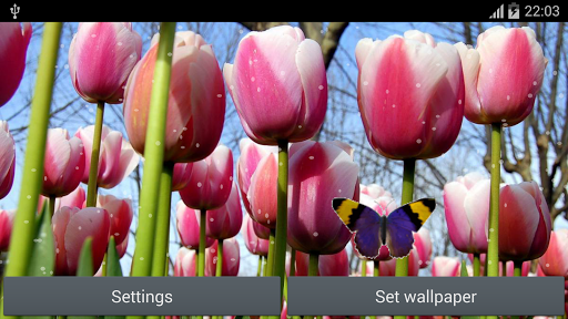 Tulip Flowers Live Wallpaper
