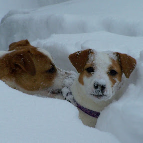 by Missy Grove Horne - Animals - Dogs Playing (  )