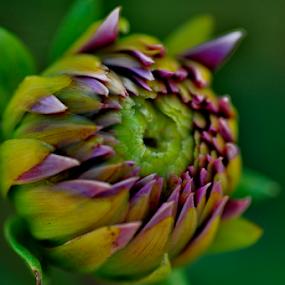 bloom time by Ashutosh Singhvi - Flowers Single Flower ( blooming flower,  )