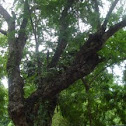 Camachile (Sweet Tamarind)