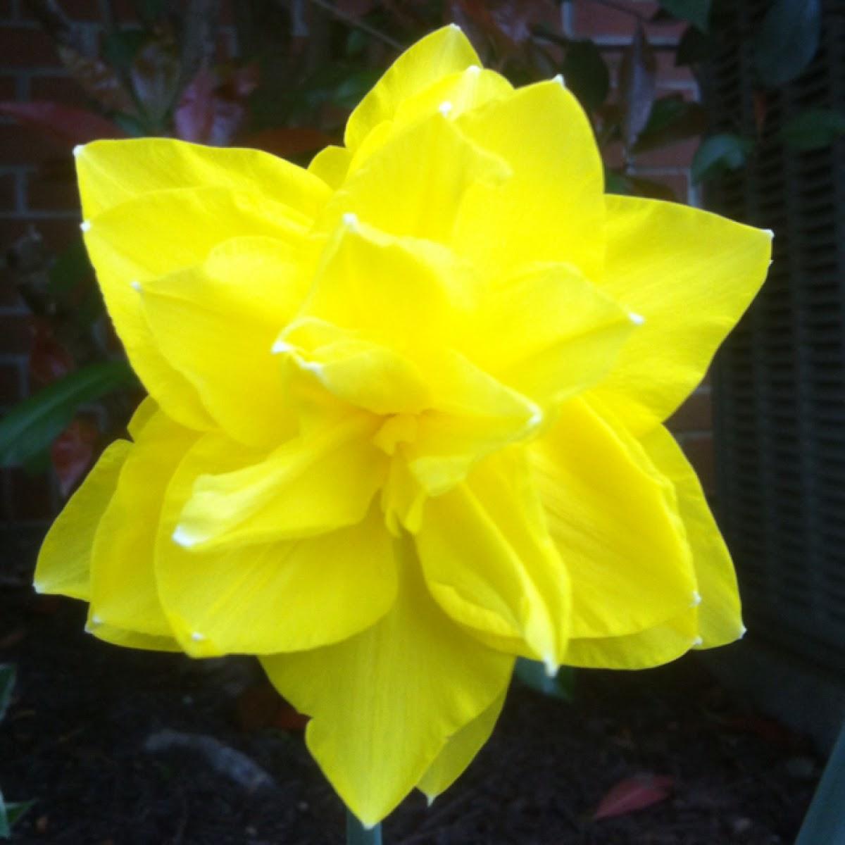 """Daffodil"""" double ruffle """""""