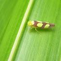 Sharpshooter Leaf Hopper