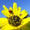 Adonis ladybird beetle