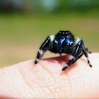 Regal jumping spider (male)