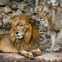 Lion - Leon