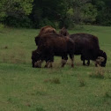 Buffalo (American Bison)