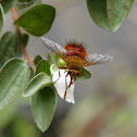 Orange Tachinid