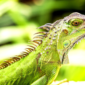 Green Iguana by Jijo George - Animals Reptiles ( green, side view, wildlife, natural pattern, one animal, beauty in nature, photography, close-up, green iguana, panama, color image, no people, horizontal, iguana, animals and pets, colored background, animal scale,  )