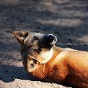 Dingo X Feral Dog