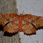 Thyredid Moth