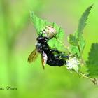 Carpenter Bee (male)
