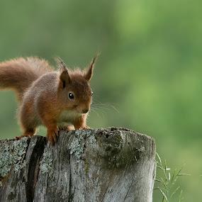 Squirrel by Rita Birkeland - Animals Other Mammals ( nature, sigma, old tree, red squirrel, summer, nature up close, nikon, squirrel,  )