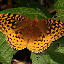 Great Spangled Fritillary, female