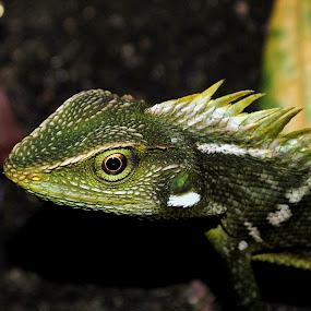 by Akhmat Haridi - Animals Reptiles