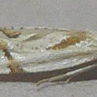 Seriated Aethes Moth