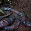 Coral Snake/Milk Snake