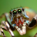 Metallic green Jumping Spider