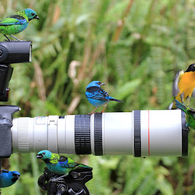 Looking!  by Itamar Campos - Animals Birds ( gaturamo, blue dacnis male, green headed tanager )
