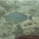 yellowfin tang