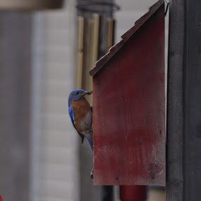Birdhouse resident! by Sidney Vowell - Novices Only Wildlife