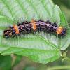 Arctiid Caterpillar