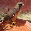 Red-Tailed Hawk (Halcon de Cola-Roja)