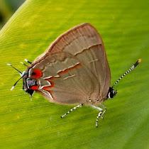 Butterflies from Salta province (Argentina).