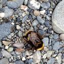 Arctic Bumblebee
