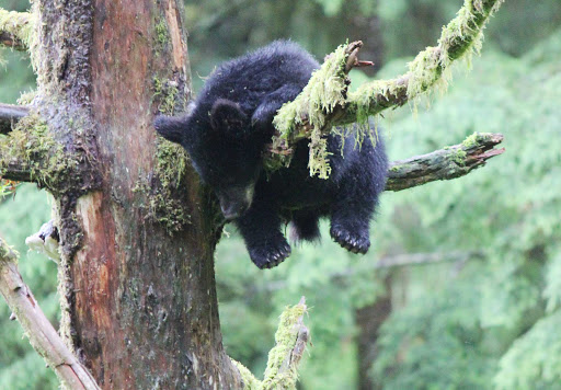 We loved seeing this bear cub clamber up a tree and then immediately fall asleep.