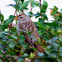 Female White-Crowned Sparrow