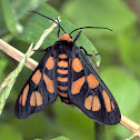 Black Thorax Wasp Moth