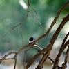 Madagascar paradise flycatcher
