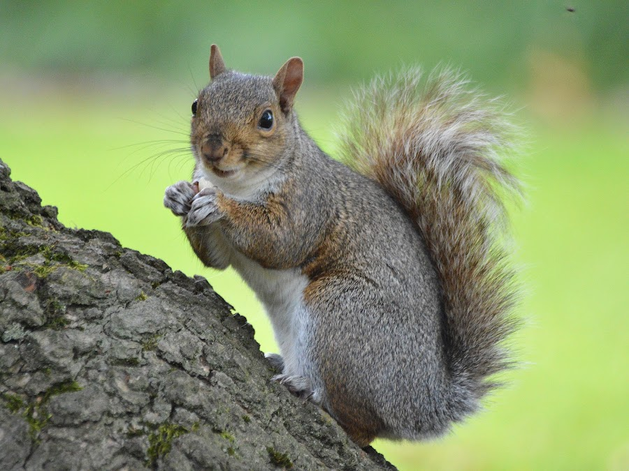 The Laughing Squirrel by Dorothy Thomson - Animals Other Mammals ( scotland, laughing, edinburgh, grey, squirrel,  )
