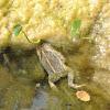 Woodhouse's Toad (deceased)