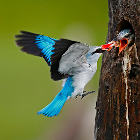 Feed me.. by Chris Krog - Animals Birds ( senegalensis, halcyon, kingfisher, woodland )