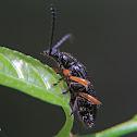 Long-jointed darkling beetle