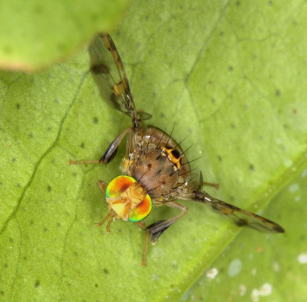 Natal Fruit Fly