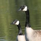 Bernache - Goose
