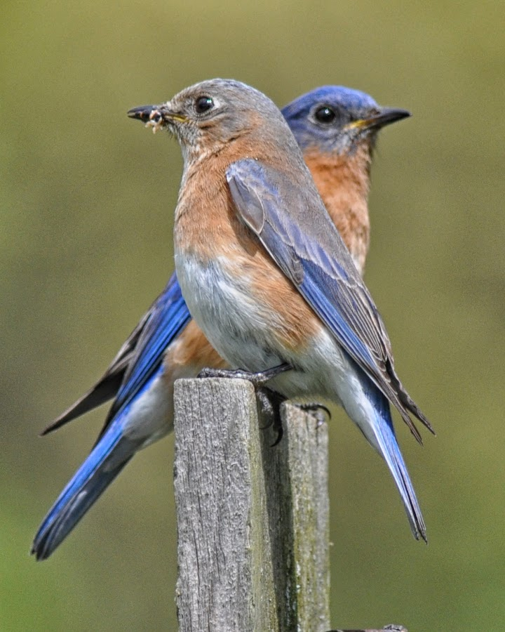 Eastern Blue Birds by Betty Arnold - Animals Birds ( blue bird pair, eastern blue bird, blue birds, birds, animal,  )