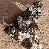 Rustic Sphinx (Hawk) Moth