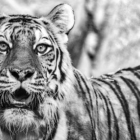 TBTT by Lou Plummer - Black & White Animals (  )