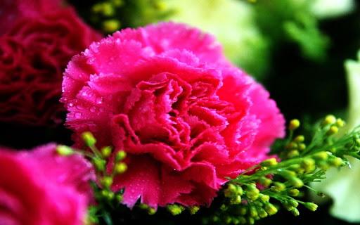 Carnation Wallpaper
