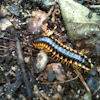Black and yellow millipede