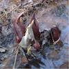 Swamp tulip?