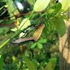 Stinkbug mating