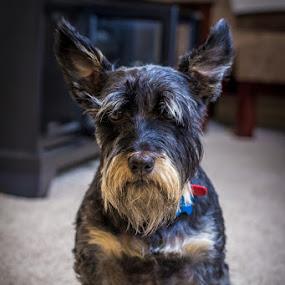 Beam Me Up by Paul Cushing - Animals - Dogs Portraits ( old dog, scotty, beard, scottish, terrier, dog )