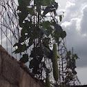 Planta de pashte