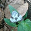 Marbled White moth