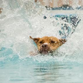 splash by Star Image - Animals - Dogs Running ( splash water dog jump air )