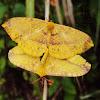 Monkey Moth (mating)